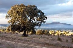 Chêne de Holm Images stock