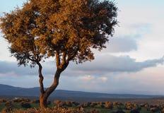 Chêne de Holm Photographie stock