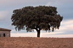 Chêne de Holm Photos libres de droits