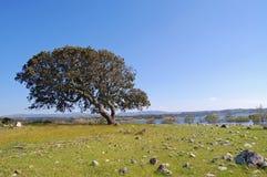 Chêne de liège en Sardaigne Photographie stock libre de droits
