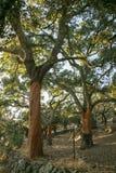 Chêne de lièges sans liège Photo stock