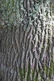 Chêne de texture d'écorce Un vieil arbre s'élevant dans le zone inondable de la rivière de Pripyat Photographie stock libre de droits