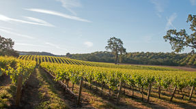 Chêne de vallée de la Californie dans le vignoble au lever de soleil dans le vignoble de Paso Robles dans le Central Valley de la Photo libre de droits