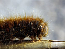 Chêne Eggar (quercus de Lasiocampa) image libre de droits