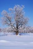 Chêne en hiver de neige Image stock