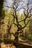 Chêne fantasmagorique d'Ijas Photographie stock libre de droits