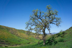 Chêne grand en vallée verte Image libre de droits