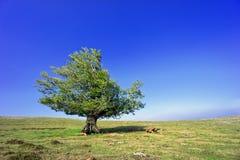 Chêne isolé au ressort Photographie stock libre de droits