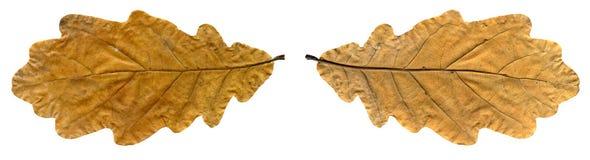 Chêne jaune de feuille d'automne d'isolement sur le fond blanc avec le chemin Images stock