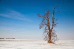 Chêne mémorable sur le champ vide d'hiver images stock