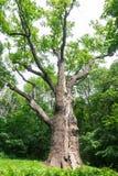 Chêne Maxim Zalizniak de forêt de féerie photo libre de droits