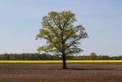 Chêne parmi un champ labouré contre le contexte d'une forêt et un champ de canola fleurissant photos stock
