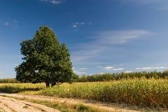 Chêne près de route Photographie stock libre de droits
