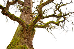 Chêne puissant photographie stock