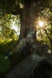 Chêne puissant après une grève surprise déchiré aux morceaux Les rayons du soleil sont les branches d'un arbre photographie stock libre de droits