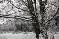 Chêne puissant congelé de forestThe sombre d'hiver, les branches des arbres couverts de neige et gel photos libres de droits