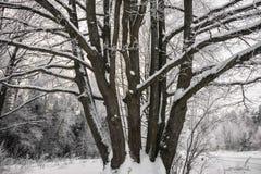 Chêne puissant congelé de forestThe sombre d'hiver, les branches des arbres couverts de neige et gel photo stock