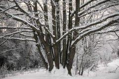 Chêne puissant congelé de forestThe sombre d'hiver, les branches des arbres couverts de neige et gel photos stock