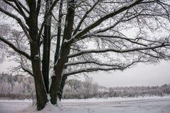 Chêne puissant congelé de forestThe sombre d'hiver, les branches des arbres couverts de neige et gel images stock