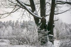 Chêne puissant congelé de forestThe sombre d'hiver, les branches des arbres couverts de neige et gel images libres de droits