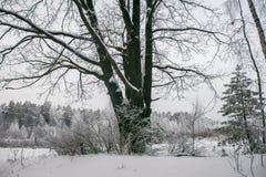 Chêne puissant congelé de forestThe sombre d'hiver, les branches des arbres couverts de neige et gel photo libre de droits