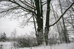 Chêne puissant congelé de forestThe sombre d'hiver, les branches des arbres couverts de neige et gel image libre de droits