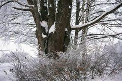 Chêne puissant congelé de forestThe sombre d'hiver, les branches des arbres couverts de neige et gel image stock