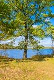 Chêne puissant par le lac Temps d'automne, jour ensoleillé image stock