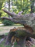 Chêne puissant tombé en Pologne orientale photographie stock libre de droits