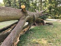 Chêne puissant tombé en Pologne orientale image stock