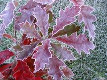 Chêne rouge de feuille, gel d'automne photographie stock libre de droits
