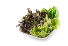 Chêne rouge et salade verte de chêne Images stock