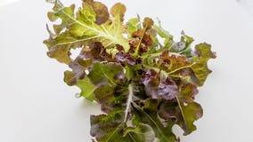 Chêne rouge végétal d'isolement Photo libre de droits