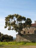 Chêne s'élevant sur un mur en pierre image stock