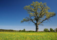 Chêne seul Photos libres de droits