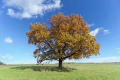 Chêne solitaire sur la pelouse Images stock