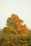 Chêne sur des terres arables Photos libres de droits