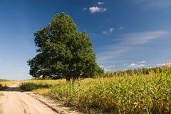 Chêne sur la zone de maïs Photo libre de droits