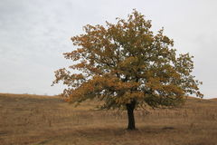 Chêne sur le flanc de coteau Image stock