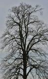 Chêne très vieux et très grand Photos libres de droits
