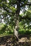 chêne Un vieil arbre s'élevant dans le zone inondable de la rivière de Pripyat Photographie stock libre de droits