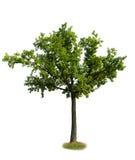 Chêne vert Image libre de droits