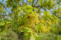 Chêne vert au printemps Image stock