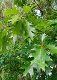 chêne vert de feuilles sur l'arbre photos stock