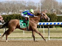 Chêne vertical gagnant au champ de courses d'aqueduc photo stock
