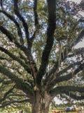 Chêne vivant et mousse espagnole Photographie stock