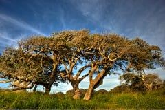 Chênes côtiers balayés par le vent photographie stock libre de droits
