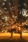 Chênes dans une clairière Photo libre de droits