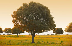 Chênes de chêne, ilex en parc méditerranéen de Cabaneros de forêt, Espagne Photographie stock libre de droits