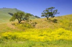 Chênes de flanc de coteau Photo stock